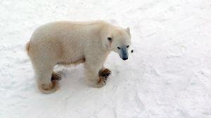 Jääkarhu Ranualla