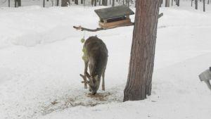 Metsäkauris, Inari