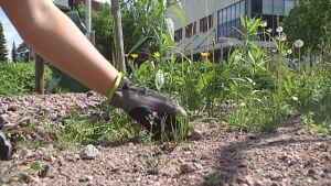 Puistotyöntekijä kitkee rikkaruohoja