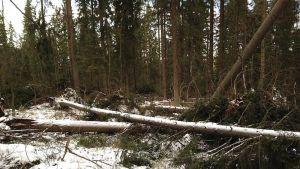 Oskari-myrsky kaatoi runsaasti puita.