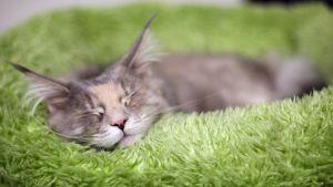 Kissa nukkuu korissa.
