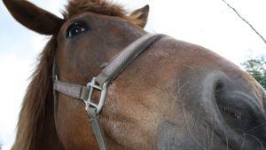 Hevosen turpa.