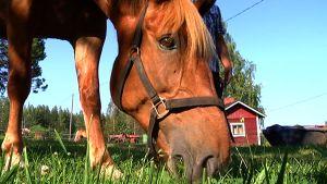 Saaga-hevonen Taipalsaaressa.