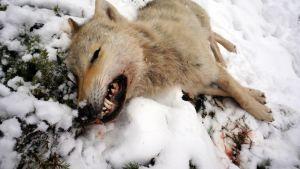 Ammuttu susi ja verta hangella.