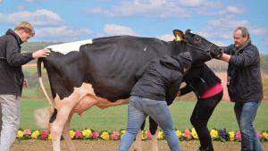 Neljä ihmistä asettelee lehmää seisomaan