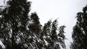 Myrskyssä taipuvia puita.