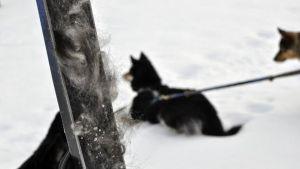 Karvaa suksien pohjassa, taustalla kaksi koiraa.