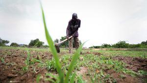 William Machingo kuokkii maissipeltoaan Zimbabwessa.