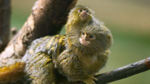 Vastasyntynyt kääpiömarmosetti tarrautui emoonsa puolalaisessa eläintarhassa vuonna 2012.