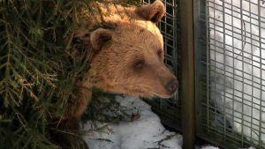 Talviunilta herännyt karhu Ranauan eläinpuistossa