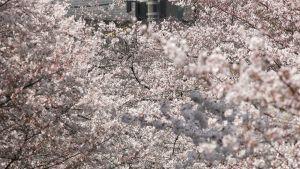 Naisia kuvaamassa kukkivia kirsikkapuita.