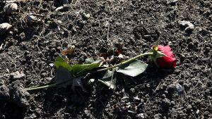 Punainen ruusu haudalla.