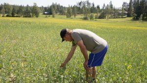 Stig Winqvist tarkkailee tuholaisten jälkiä pelloillaan Tuusulassa.