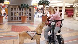 Avustajakoira auttaa Ella Vanhalaa hanskojen riisumisessa.