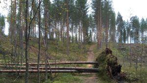 Rauli-myrskyn kaatamia puita.
