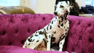 Dalmatilainen koira istuu sohvalla.