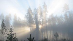 Aurinko paistaa puiden lomasta ja sumun läpi.
