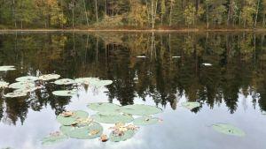 Järven tyyni pinta ja lumpeenlehtiä