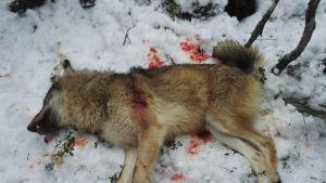 Useiden paliskuntien alueella poroja tappanut susi ammuttiin Oulussa 22. joulukuuta 2016.