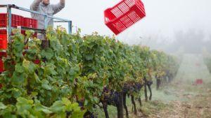 Château Carsin viinitilalla valmistellaan rypäleiden keräystä.