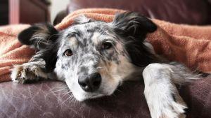 Mustan- ja valkeankirjava koira makaa nahkasohvalla viltin alla.