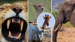 Leijona, gepardi, kiraffi. afrikannorsu ja sarvikuono
