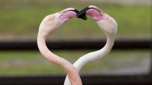 Flamingot kaulailivat ystävänpäivänä Ramat Ganin eläinpuistossa Tel Avivissa.