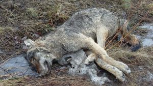Sudeksi epäilty raato löytyi  viime lauantaina Vanhan Hämeenlinnatien varresta Nurmijärveltä. Se oli tutkijan mukaan ollut löytöhetkellä kuolleena jo useita päiviä.