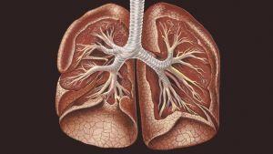 Ihmisen keuhkot