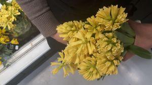 keltainen hyasintti