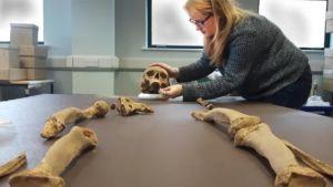 Tutkija asettelee pääkalloa pöydälle, edessä raajojen luita.
