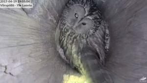 Viirupöllö pesässään