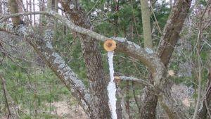 Jääpuikko kasvaa katkaistusta oksasta vuotaneesta mahlasta maahan asti Joutsenossa.