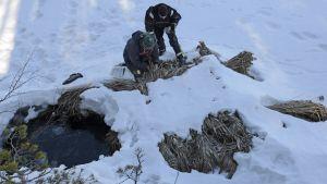 Saimaannorpalle tehty ruokopesä osittain lumen alla