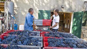 Työntekijöitä viinitilalla.