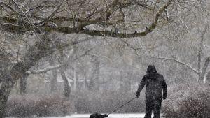 Koiranulkoiluttaja lumisateessa Helsingissä.