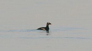 harvinainen lintu, kyhmypilkkasiipi, Virolahti, Arktika