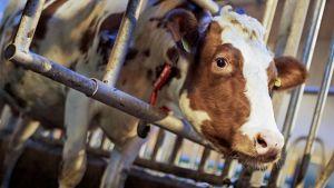 Lehmä navetassa