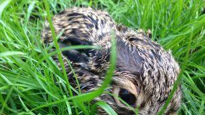 Rusakkoemo jättää poikasensa päiväksi yksin ja palaa hoitamaan niitä iltahämärissä.