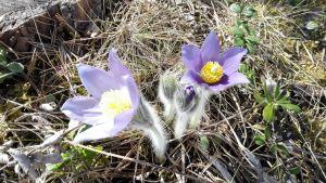 Kaksi vaalean violettia hämeenkylmäkukkaa