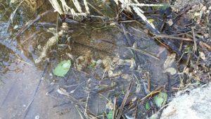 Epämääräisiä kuitupaakkuja rantavedessä. Kuhnamon vesistöstä ja rannasta löytyineitä kuitupaakkuja tutkitaan Metsä Groupin tehtaan laboratoriossa.