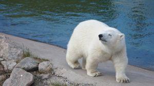jääkarhun pentu Ranuan eläinpuistossa