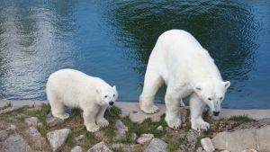 Jääkarhut vesialtaan reunalla Ranuan eläinpuistossa.