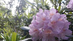 Vaaleanpunainen alppiruusupensas