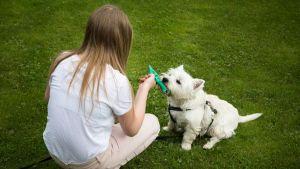 Tyttö leikkii terrierin kanssa vihreällä nurmikolla.