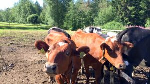 Lehmiä laitumella.