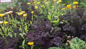 Salaattia ja kukkua kasvaa viljelypalstalla.
