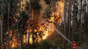 Palomies sammuttaa metsäpaloa Caboucossa, Coimbrassa, Portugalin keskiosassa, 13. elokuuta 2017.