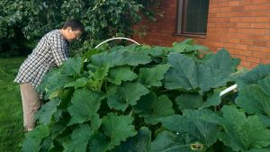 Isokyröläisen Marjatta Kuosman puutarhassa aletaan jo korjata satoa.