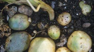 vihreitä perunoita